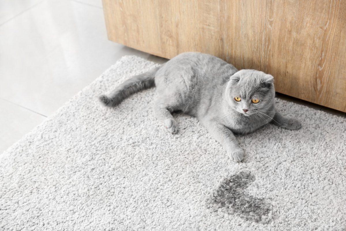 mèo đi vệ sinh bừa bãi